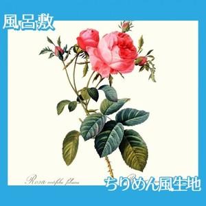 ルドゥーテ「ロサ・ケンティフォリア・フォリアケナ」【風呂敷】